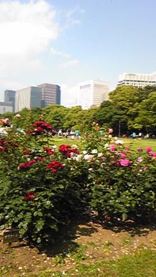 てるブロ-日比谷公園のバラ