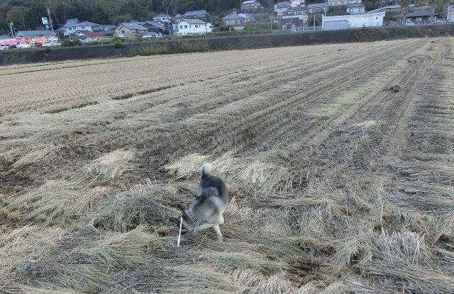 稲刈り後で