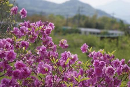 鳥沢ミツバツツジと中央線