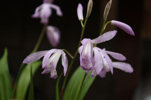 T's Garden Healing Flowers‐姫シラン