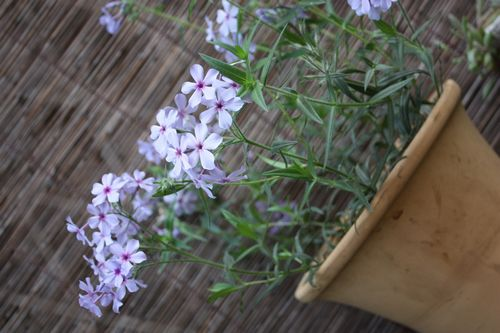 T's Garden Healing Flowers‐コンペキ草