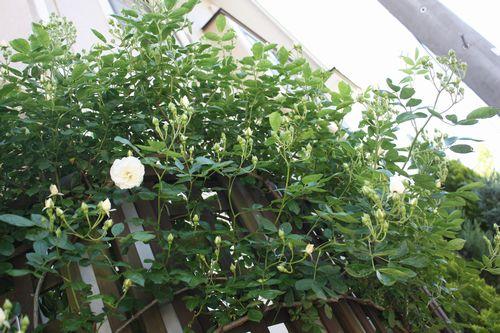 T's Garden Healing Flowers‐CLサマースノー