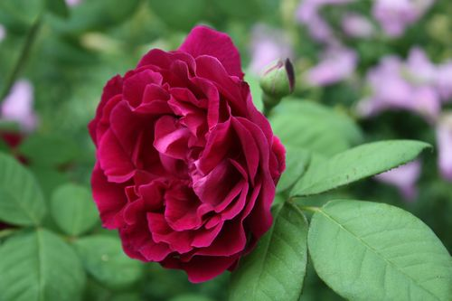 T's Garden Healing Flowers‐OLスヴニール・デュ・ドクトゥール・ジャマン