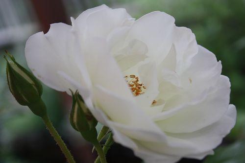 T's Garden Healing Flowers‐CLアイスバーグ