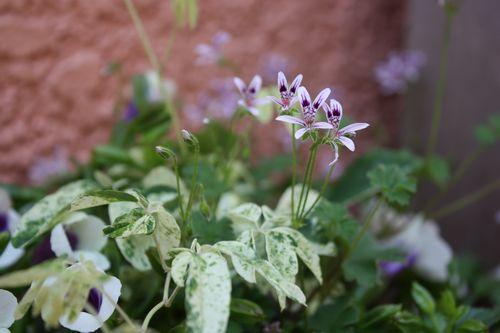 T's Garden Healing Flowers‐夏すみれとペラルゴイオカスタム