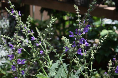 T's Garden Healing Flowers‐サルビア・トランシルバニカ