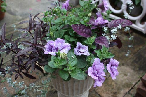 T's Garden Healing Flowers‐ペチュニア・サマーパープルの寄せ植え