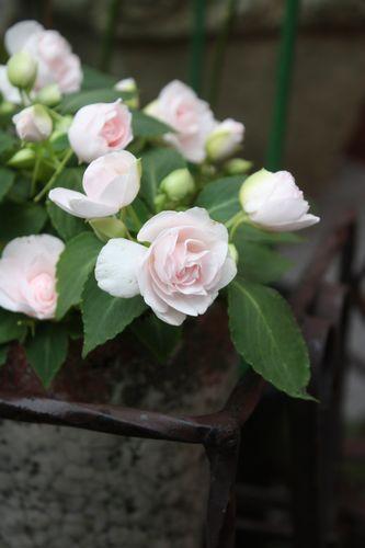 T's Garden Healing Flowers‐八重咲きインパチェンス・シルエット