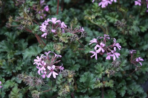 T's Garden Healing Flowers‐ペラルゴ・ラベンダーラス