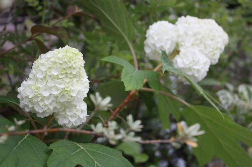 T's Garden Healing Flowers‐柏葉アジサイ・ハーモニー