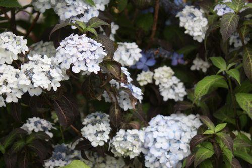 T's Garden Healing Flowers‐山アジサイ・白妙