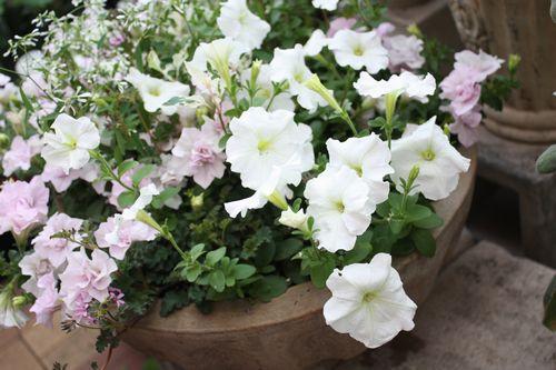 T's Garden Healing Flowers‐ペチュニア・ピンクバニラの寄せ植え