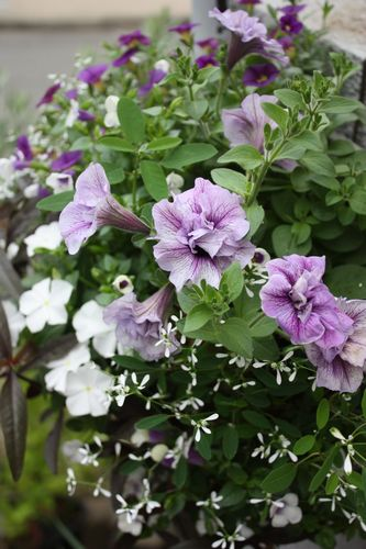 T's Garden Healing Flowers‐ペチュニア・サマーパープルのハンギング