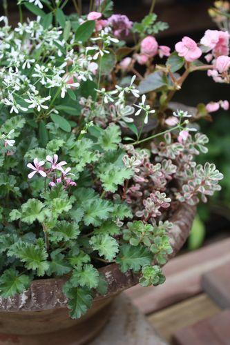 T's Garden Healing Flowers‐センパ・ダブレットの寄せ植え