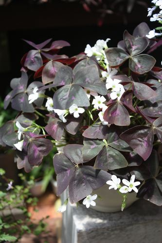 T's Garden Healing Flowers‐紫葉オキザリス白花