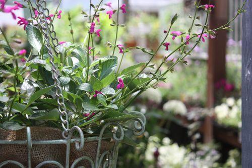 T's Garden Healing Flowers‐サルビア・ローズシャンデリア