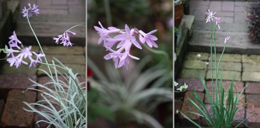 T's Garden Healing Flowers‐ツルバキア