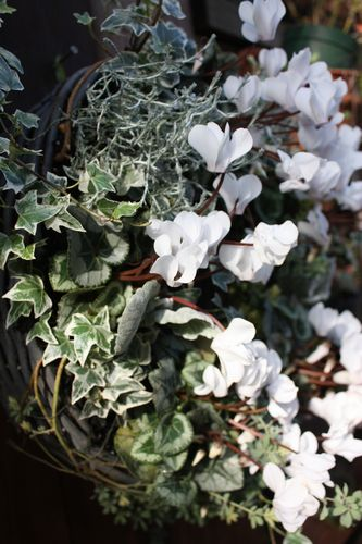 T's Garden Healing Flowers‐ガーデンシクラメンの白いリング