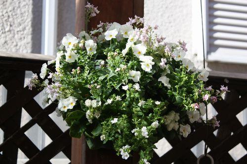 T's Garden Healing Flowers‐白ビオラとネメシアでハンギング