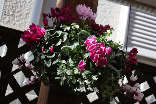 T's Garden Healing Flowers‐Gシクラメンのハンギング