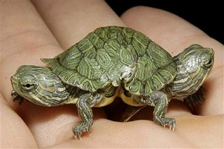 two-headed-turtle2.jpg