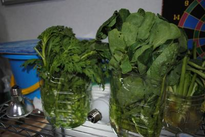 春菊と小松菜2-1
