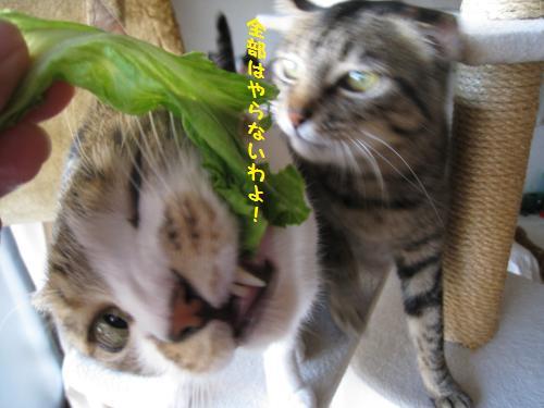 ミーもレタスを食べる
