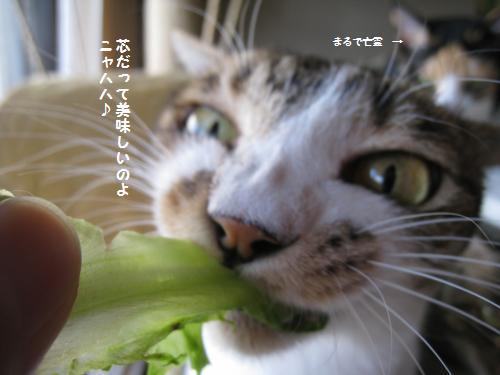 レタスを食べるミー