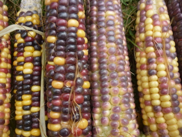 トウキビ収穫