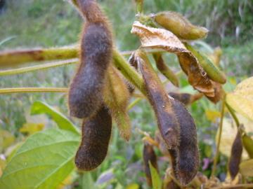 大豆カリカリ