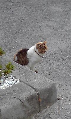 本島の猫3