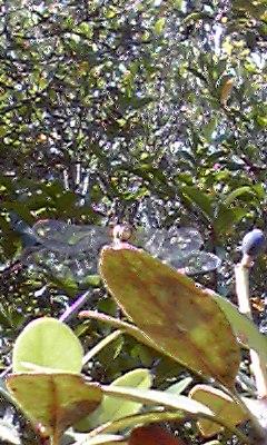 秋蜻蛉10・13