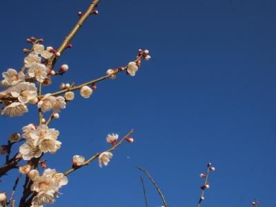畑の梅の花130221