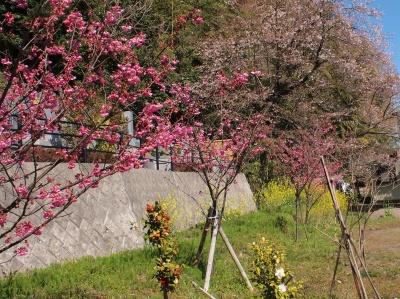 彼岸桜 観音山2