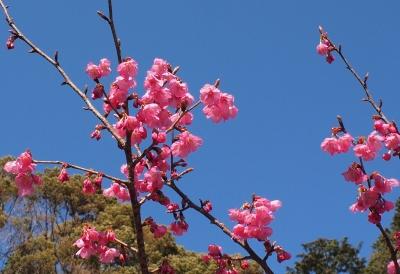 彼岸桜 観音山