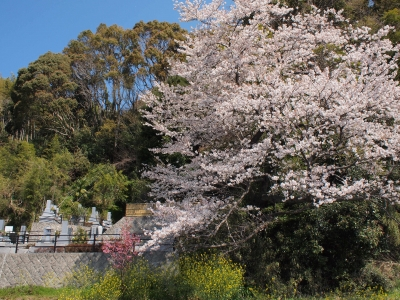 観音山霊場 桜 桜 菜の花