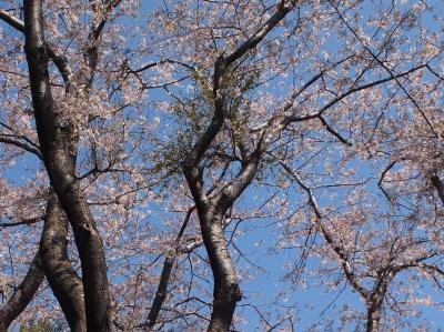 観音山頂上の桜