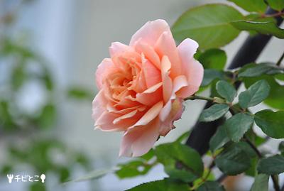 お庭のバラ。。