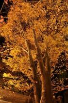 2010信州上田城けやき並木紅葉まつり003