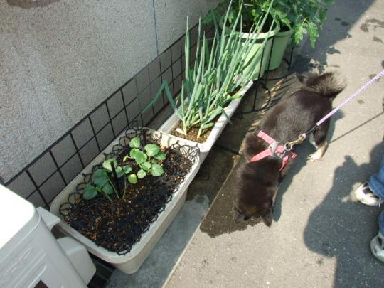 我が家のプランター菜園