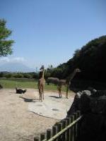 キリンのむこうは桜島