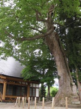 円福寺本堂と大ケヤキ