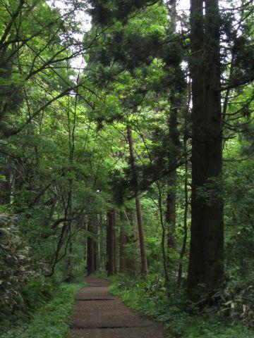 スギ林と旧登山道