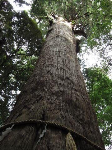 麻賀多神社の大杉