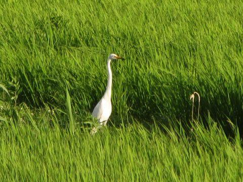 水田に佇む白鷺