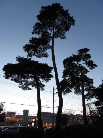 藤久保の松並木