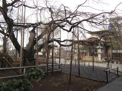 地蔵院の枝垂桜