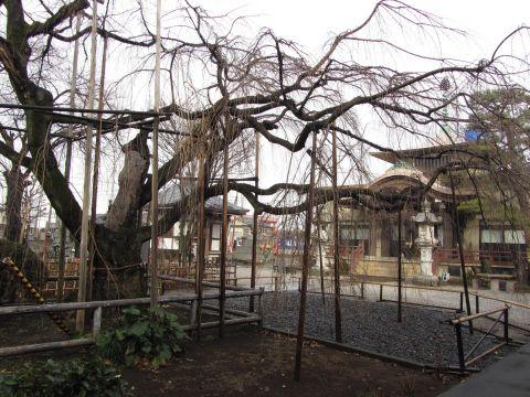 地蔵院の枝垂れ桜