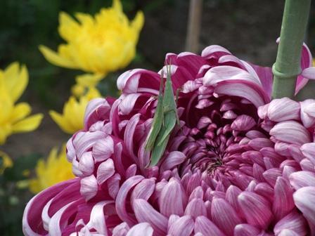 菊とバッタ