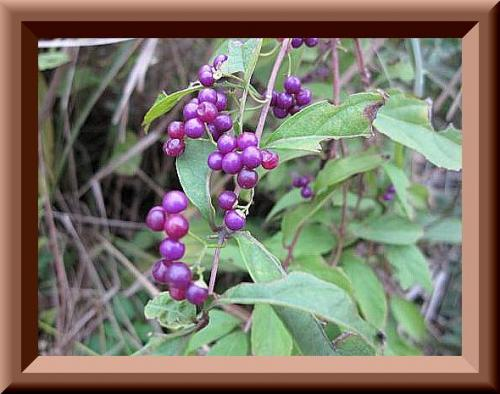 紫式部木枠